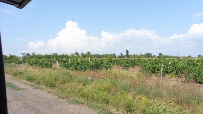 So sehen die einheimischen Weinstöcke aus