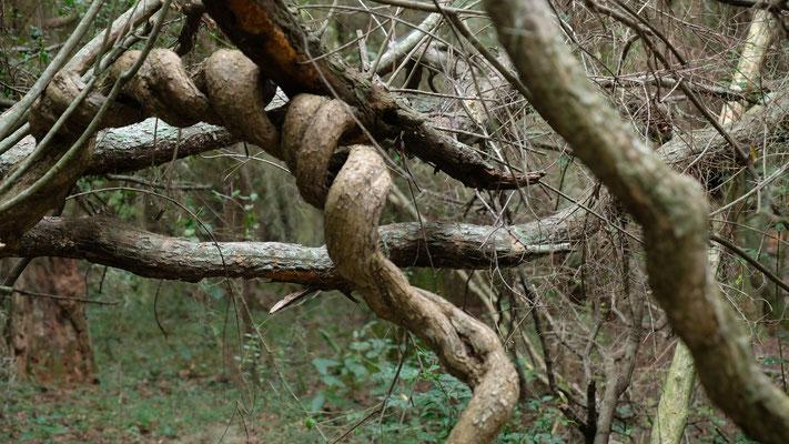 ...an knorrigen Bäumen