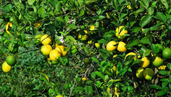 Zitronen auf über 2000 m.