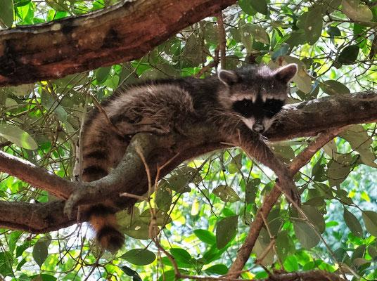 Da fläzen sie sich doch in den Bäumen, die Waschbären