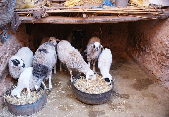 Abdoul zeigt uns seine Tiere, die immer im Stall bleiben.