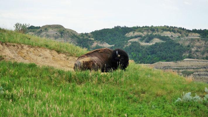 Im nörlichen Teil des Theodor Roosevelt Nationalpark natürlich wieder Bisons...