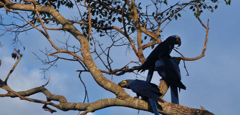 Die blauen Aras machen ein Höllenspektakel