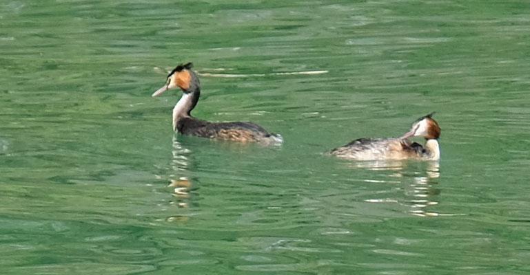 Spezielle Enten auf dem See