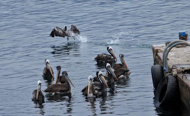 Am Hafen von Guanaquenos kommen die Pelikane bereits um die Ecke