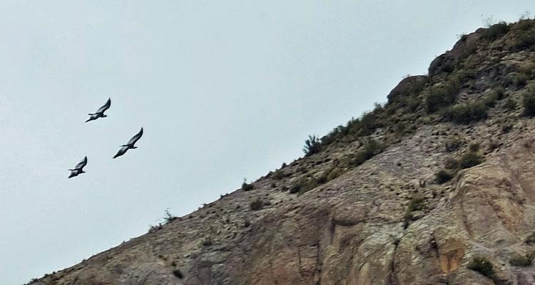 ... sich die grossen Kondore in die Lüfte erheben.