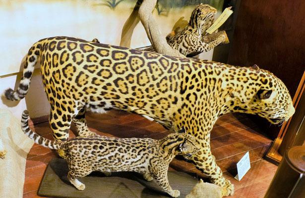Hier treffen wir auf den Jaguar......
