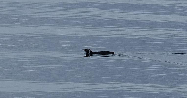 Ein ganz einsamer Pinguin mitten auf dem Pazifik
