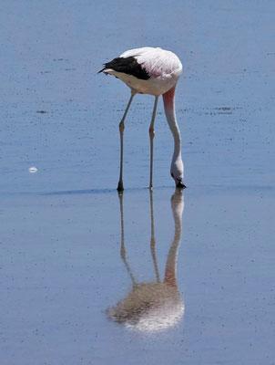 Die Flamingos ernähren sich von Krebsen.