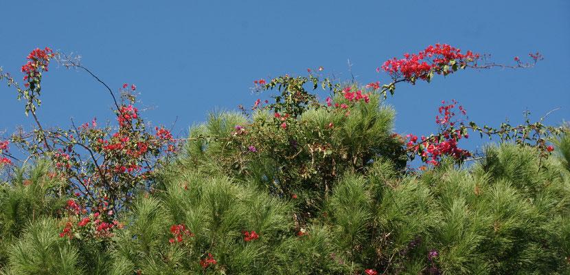 Die Blüten ranken sich bis zuoberst auf den Baumwipfel