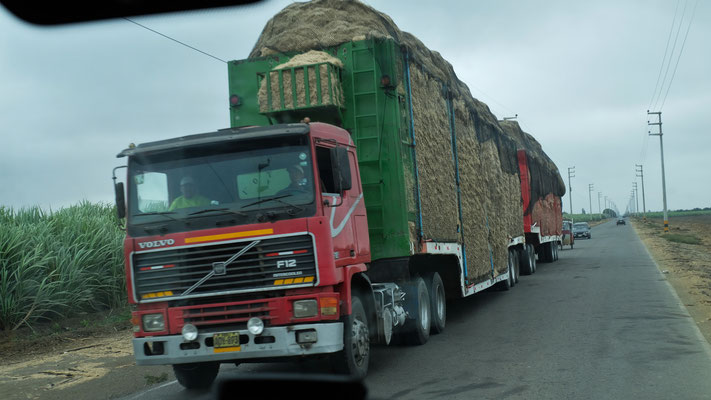 Neues Zuckerrohr, diesmal bereits gehäckselt wird angeliefert.