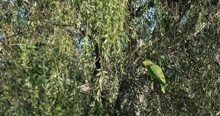 Sitzt der Papagei in den Bäumen ist er gut getarnt und....