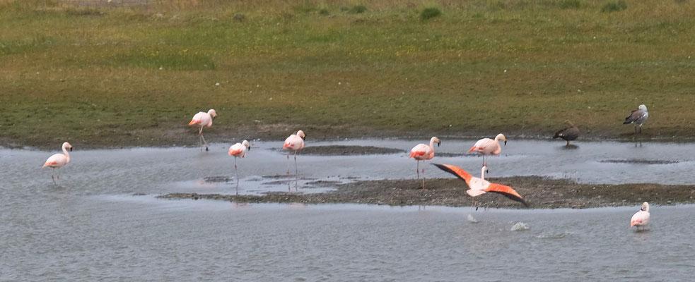 Immer mal wieder Flamingos an Gewässern