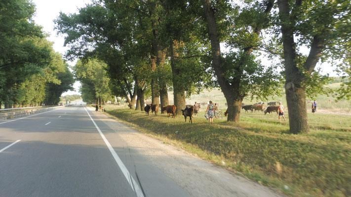 Das ganze Dorf  holt die Kühe heim