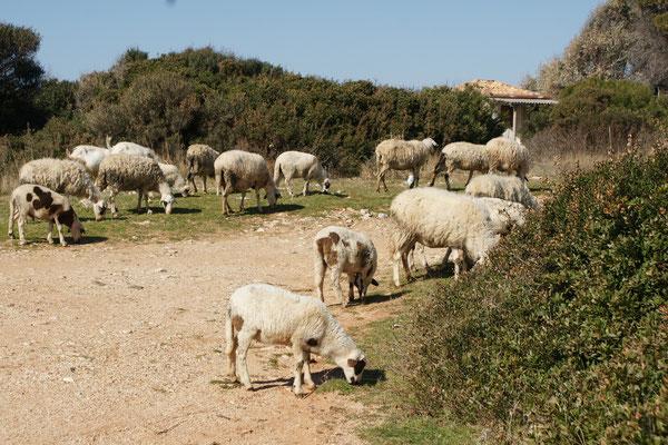 Die Schafe und Ziegen kommen auf Besuch