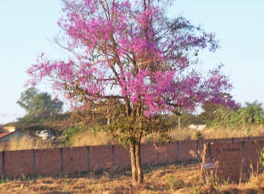 Es blühen die Bäume