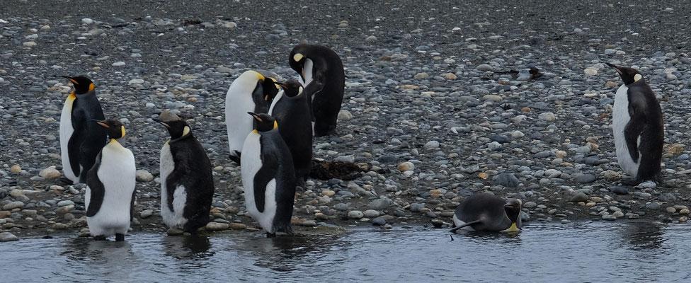 Eigentlich nur in der Antarktis beheimatet.