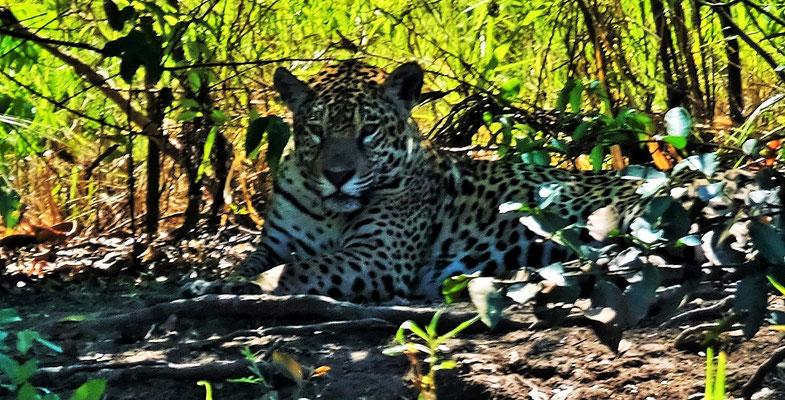 Aber dann doch, da liegt der Jaguar im Schatten