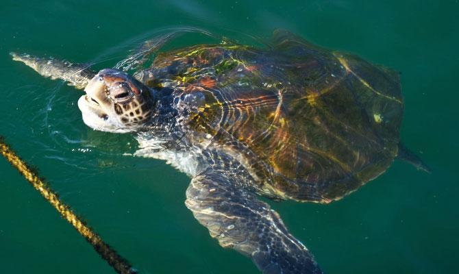 die Meerschildkröten sind riesig