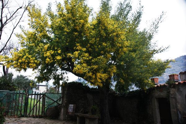 Die Mimosen blühen beim Kloster