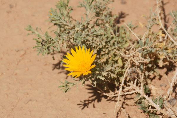 Wieder mal eine Blüte entdeckt in der Wüste