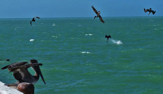 Die Pelikane machen gute Beute