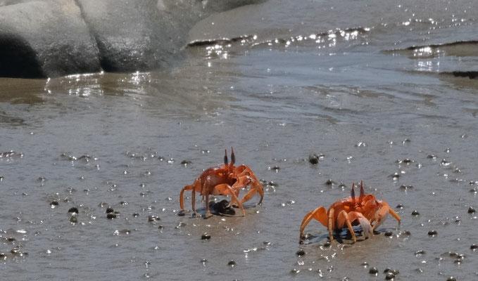 Wunderschöne Krabben