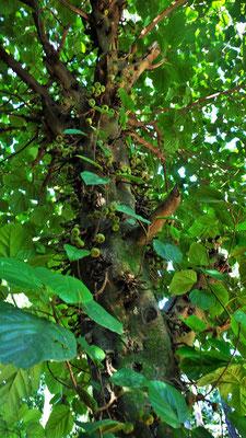 "Der "" verrückte Feigenbaum"" stranguliert den dicken Baum"
