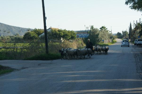 Schafe auf dem Nachhauseweg