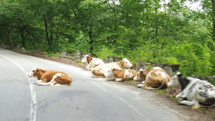 Dann rauf auf die Berge. Die Kühe sind völlig entspannt