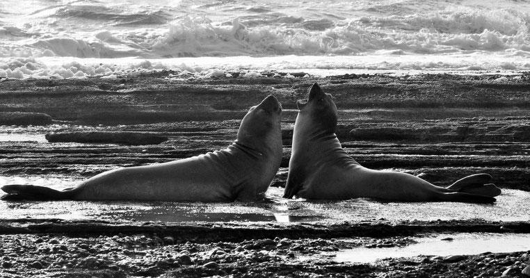 Am Morgen sind die Seeelefanten bereits wieder zum Spielen aufgelegt.