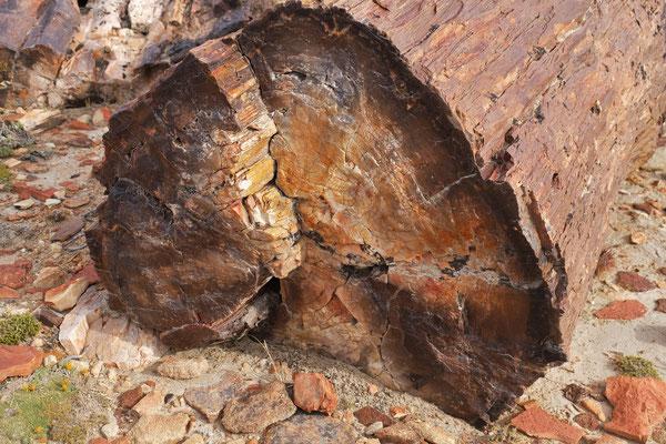 Der dickste  Baum in Jaramillo hat 34 cm im Durchmesser.