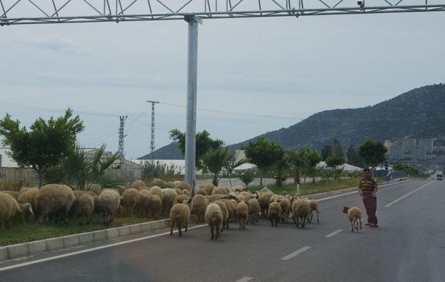 """Die Schafe sollen den Grünstreifen """"mähen"""""""