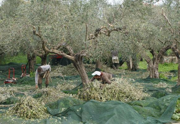 Die kleinen Oliven werden mitsamt den Ästen abgeschnitten und dann in eine Maschine geworfen. Bedeutend einfacher als jede einzelne von Hand abzupflücken