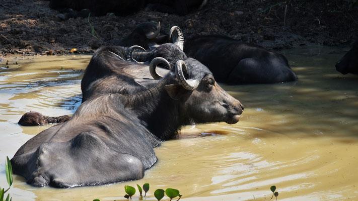 Nicht nur Buckelrinder, nein auch Wasserbüffel treffen wir an