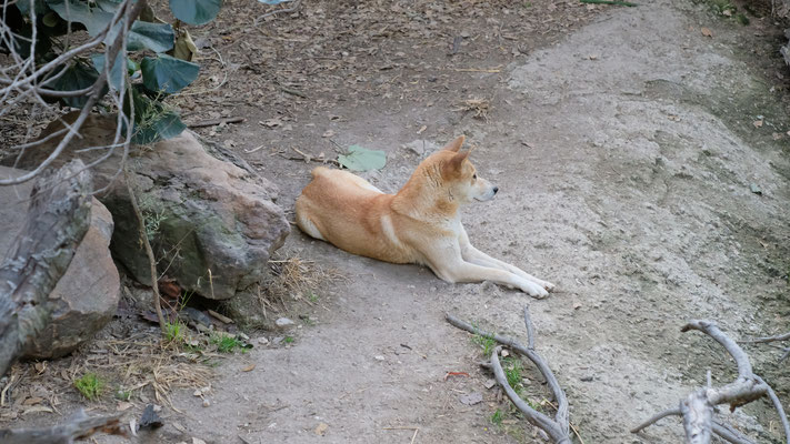 Sogar noch Australier sind in Africam.  Dingo und
