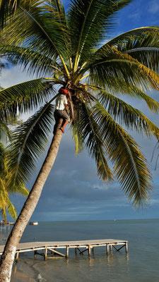 Er ist in Windeseile oben und die Kokosnüsse genauso schnell danach unten.