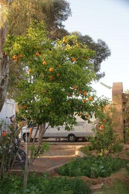Orangenbäumchen auf dem Campingplatz