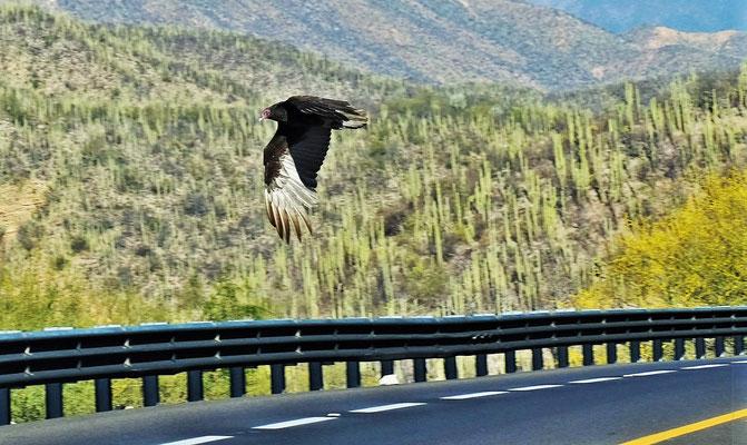... auch Begegnungen mit Adlern