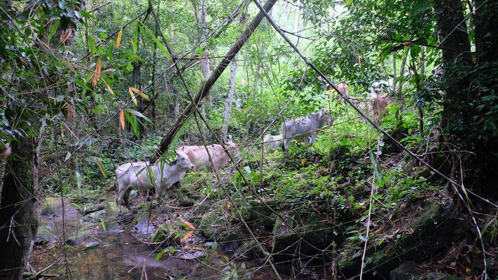 Keine Affen, dafür Rinder mitten im Nebelwald