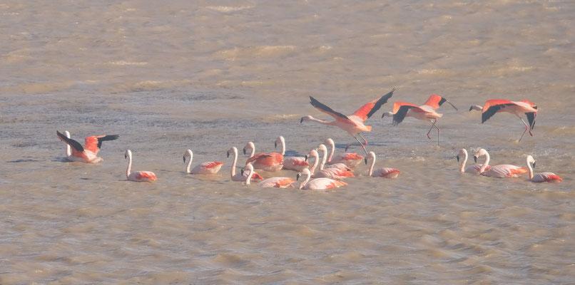 Die Flamingos scheinen sich an der Kälte und dem Wind nicht zu stören.