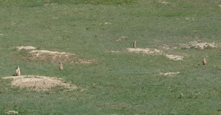 Im Nationalpark gibt es abertausende Präriehunde, die die Erde durchlöchern