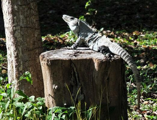 Natürlich auch hier, die allgegenwärtigen Leguane