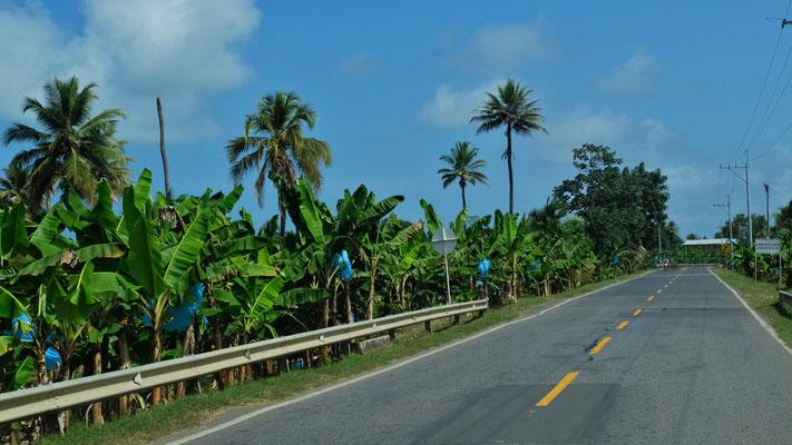 Unten Bananen, oben Kokosnüsse
