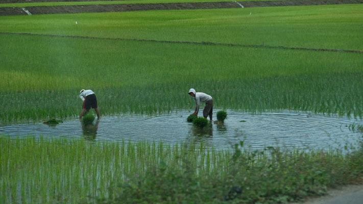 Reisbauern bei der Arbeit.