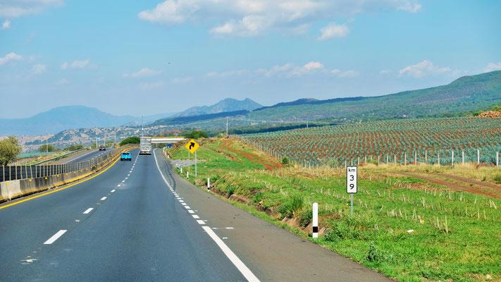 Sehr viele Mezcal Felder säumen unseren Weg