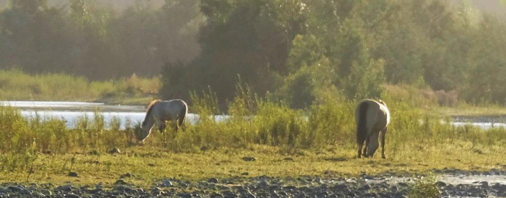 .....die wilden Pferde beobachten