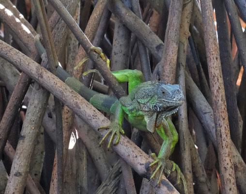 Leguane in den Mangroven