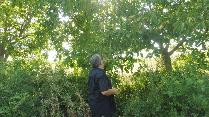 Alois nimmt auch einige übriggebliebene Walnüsse direkt vom Baum