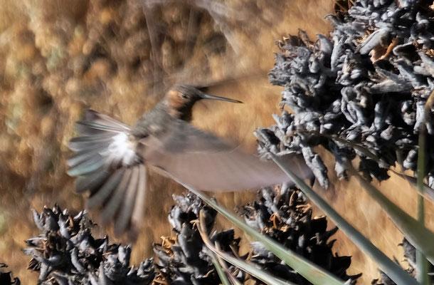 Der Andenkolibri. Es sind die grössten Kolibris die es gibt.